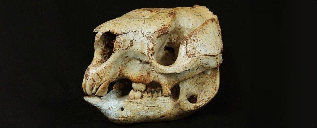 مستحاثة كنغر من العصر الجليدي تكشف صلة غريبة بينه وبين الباندا العملاق