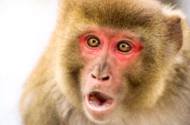 السعادين قد تتشارك مع البشر بمهارات متعلقة بالقواعد - خلال تطور الثدييات الرئيسية تطورت لديهم قدرة على الاستدعاء الذاتي (أو العودية)