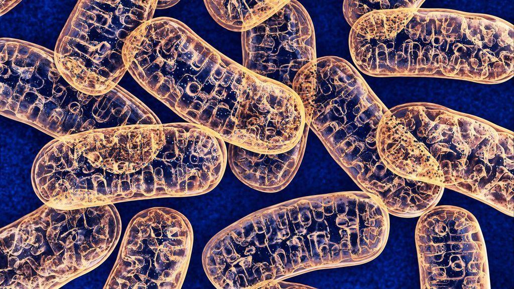 الميتوكوندريا - كيف تنتج الخلية الحية الطاقة اللازمة لعملها ؟