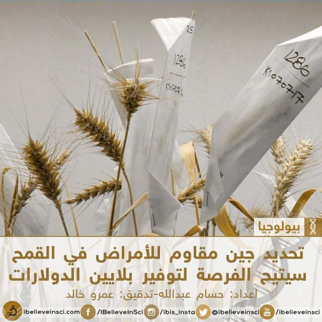 تحديد جين مقاوم للأمراض في القمح سيتيح الفرصة لتوفير بلايين الدولارات