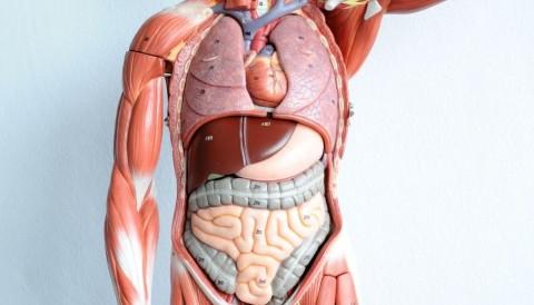 كم عدد الأعضاء في جسم الإنسان - أقدم التشريحات لجسم الإنسان - التعداد العام للأعضاء في الجسم - الجسم البشري - الأعضاء التشريحية