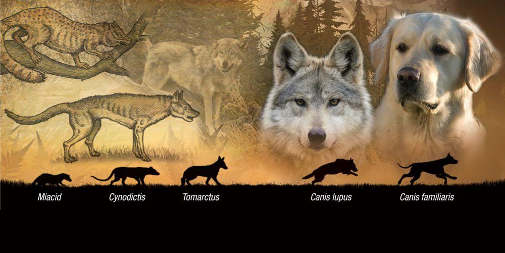 تطور الكلاب .. ما هو اصل الكلاب ؟ من اين جاء الكلب ؟