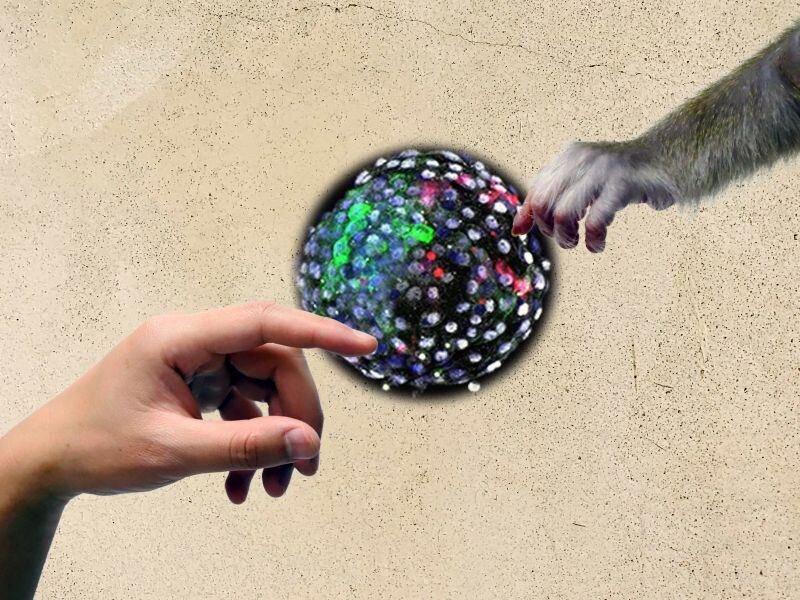 جنين نصف قرد-نصف إنسان يشعل الجدال حول الحيوانات المهجنة