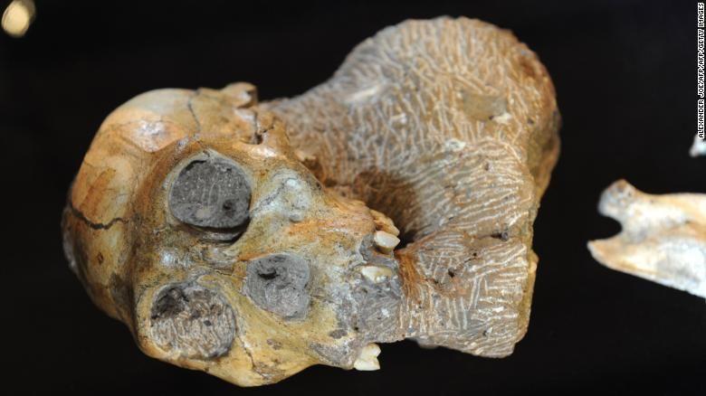 اكتشاف الحلقة المفقودة في سلف البشر أوسترالوبيثيكوس سيديبا