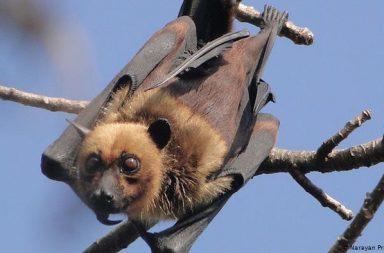 قد يكون آكل النمل من نقل فيروس كورونا المستجد من الخفافيش إلى الإنسان - هل انتقل فيروس كورونا إلى البشر بسبب تناول الخفافيش؟