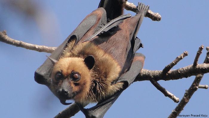 قد يكون آكل النمل من نقل فيروس كورونا المستجد من الخفافيش إلى الإنسان