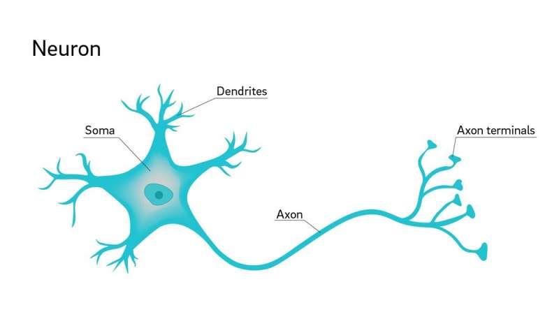 ما هو النسيج العصبي وما وظائفه ؟