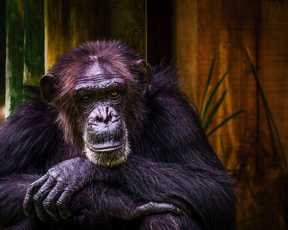 اكتشاف عظمة في قلب الشمبانزي تثير الكثير من التساؤلات!