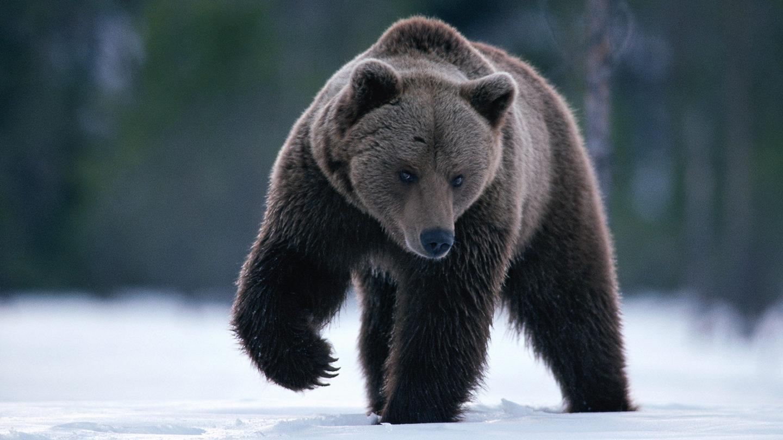 ظهور بكتيريا مقاومة للمضادات الحيوية لدى الدببة الإسكندنافية