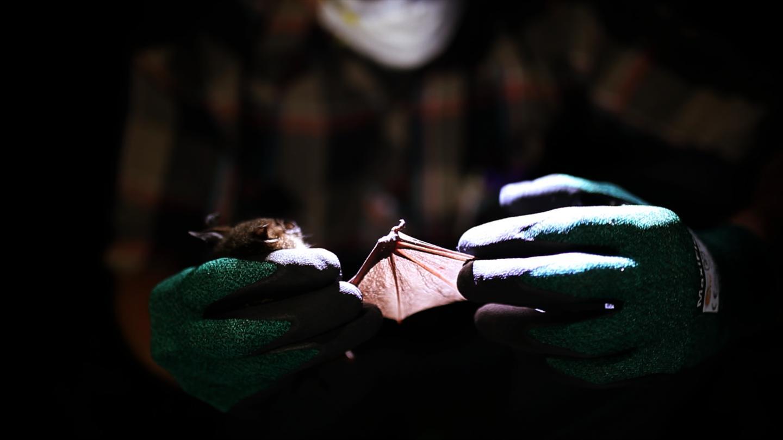 اكتشاف فيروسين جديدين قريبين من الحصبة الألمانية في الخفافيش - نوعين جديدين من الفيروسات القريبة من فيروس الحصبة الألمانية