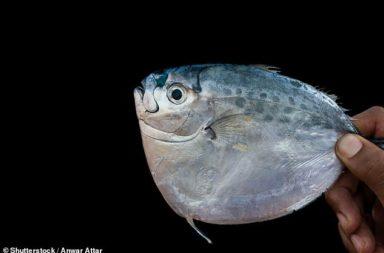 اكتشاف أحفورة سمكة مصرية عمرها 56 مليون عام -توثيق اكتشاف بقايا لحفريات فقارية مصرية من رواسب يرجع عمرها إلى 56 مليون سنة - سمكة القمر
