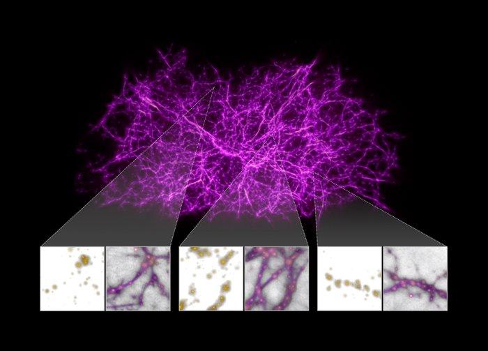 خريطة لنموذج ثلاثي الأبعاد للوحل متعدد الرؤوس محاكيًا خيوط الشبكة الكونية، إذ تظهر المجرات باللون الأصفر والخيوط المُولدة خوارزميًا باللون البنفسجي