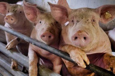 هل ستكون إنفلونزا الخنازير الجائحة التالية - جائحة تكتسح العالم - فيروسات إنفلونزا النوع A - سارس وميرس وكوفيد-19 وH1N1 - الفيروسات