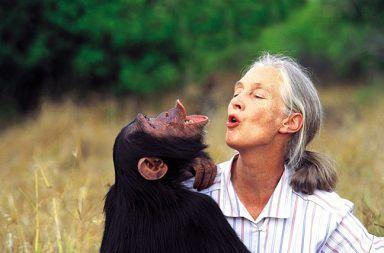 الشمبانزي الجنس البشري التطور التخاطب