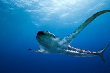 اكتشاف حفرية قرش مجنح جاب المحيطات قبل 93 مليون سنة! - اكتشاف سمكة قرش غريبة بزعانف على شكل أجنحة وفم كبير غائر تعود للعصر الطباشيري