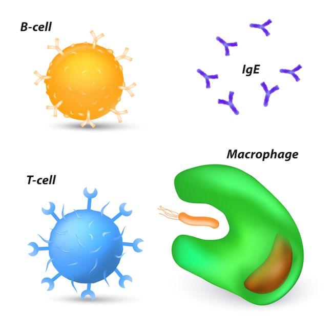 رسم توضيحي للخلايا البائية والخلايا التائية والأجسام المضادة والبالعات