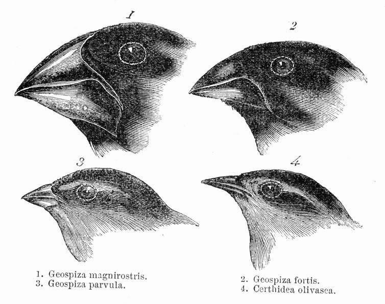 اكتشف داروين أن عصافير الحسون ذات المناقير المتكيفة لمصادر الطعام المحدودة المتوفرة على الجزيرة امتلكت فرصة أكبر للبقاء ونقل مورثاتها للجيل التالي. العصافير ذات المناقير الملائمة صُنّفت على أنها الأصلح.