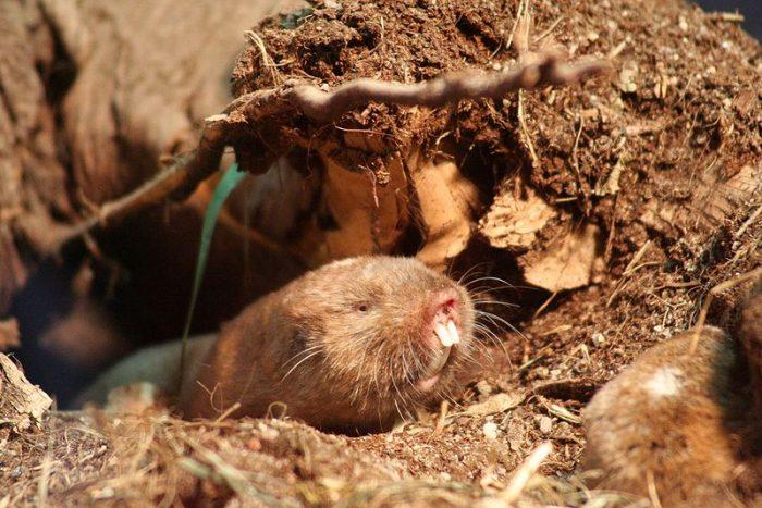 فئران الخلد العمياء ترى بعيونها الحقول المغناطيسية