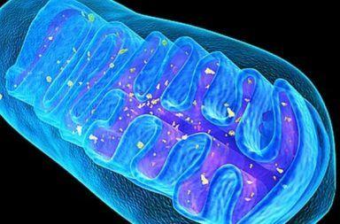 مما تتألف الميتوكوندريا ما هي وظيفة الميتوكوندريا مما تتألف المتقدرات ما هي وظيفة المتقدرات الخلية الحية الحمض النووي خلايا الخلايا الخلية الحية