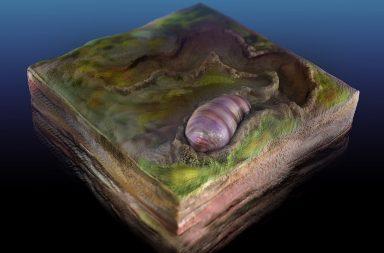 اكتشاف أقدم سلف للحيوانات في أستراليا - الأحياء الإيدياكارية - الأحياء متماثلة التناظر - إيكاريا واريوشا - كائن دودي الشكل بطيء الحركة