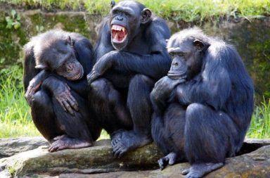 الشمبانزي يمتلكون ثقافتهم الخاصة بهم، والبشر يدمرونها