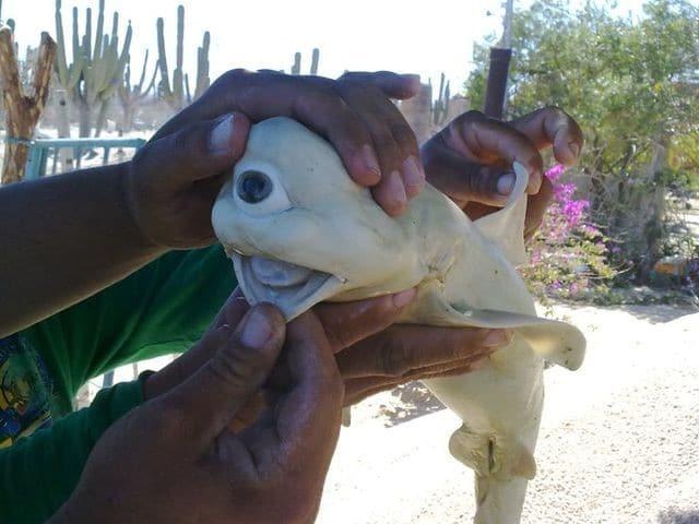 العثور على سمكة قرش بيضاء بعين واحدة!