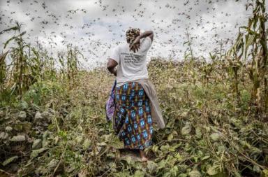 الجراد في شرق أفريقيا: خطر يتربص بالبلدان العربية - المجاعة والتداعيات الاقتصادية لموجة أسراب الجراد - التغير المناخي وانقلاب أنماط الطقس وهطول الأمطار