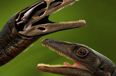إعادة بناء أدمغة الديناصورات بواسطة تحليل تجاويفهم القحفية باستخدام التصوير المقطعي المحوسب - سلالة سحليات الأرجل - بوريوليستيس شولتزي