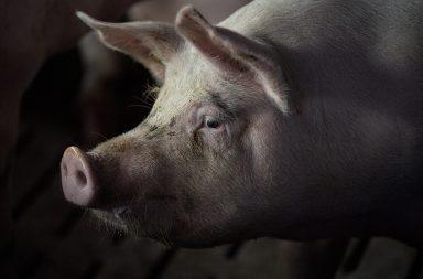 اكتشاف سلالة جديدة من فيروس إنفلونزا الخنازير قد تسبب جائحة في الصين - حدوث جائحة جديدة مع جائحة كورونا - إعادة تشكيل الفيروس