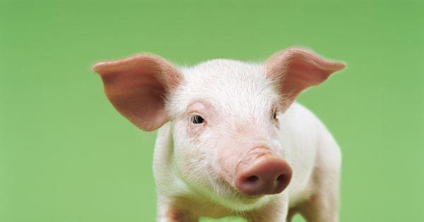هل اقتربنا من زرع أعضاء خنزير لإنقاذ البشر؟ ومتى يمكن أن يحدث ذلك؟