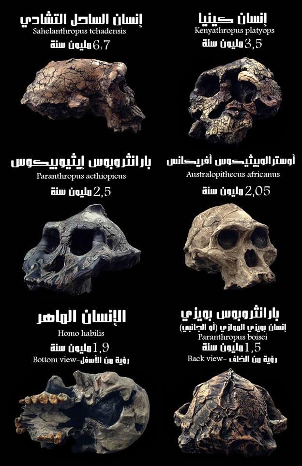 تطور جماجم أسلاف الإنسان على مدار 7 مليون سنة