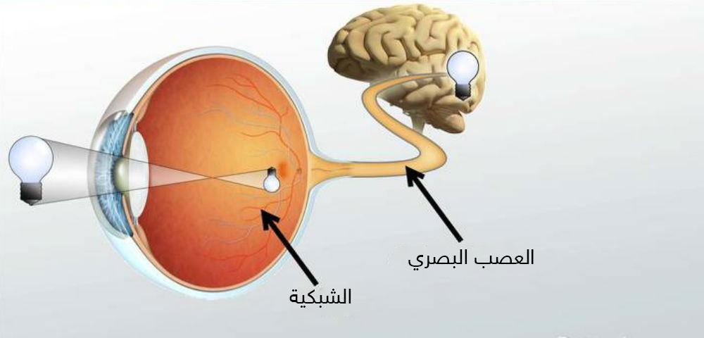 ثاني الأعصاب القحفية: العصب البصري - العصب القحفي المسؤول عن نقل المعلومات البصرية على شكل نبضات كهربائية من العين للدماغ