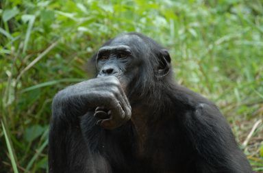 مشروع جينوم الشمبانزي مشروع الجينوم البشري دراسة جينات الرئيسيات الأمراض الوراثية الجينات المشتركة بين الإنسان والشمبانزي جينوم البشر
