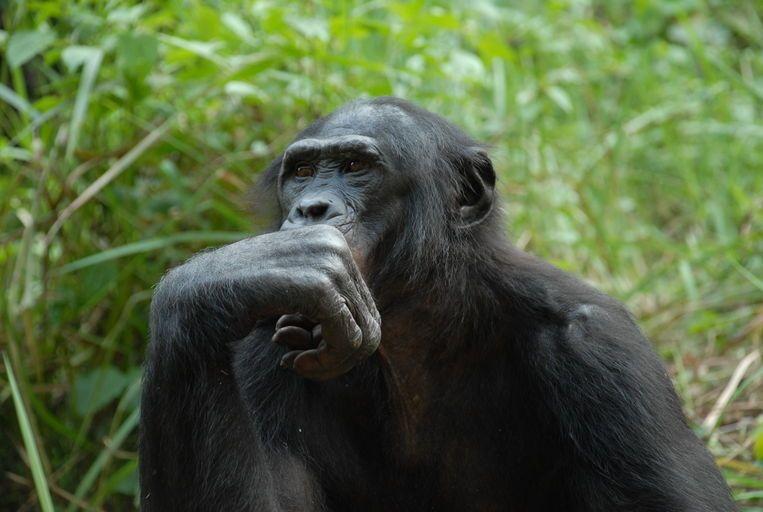 ما هو مشروع جينوم الشمبانزي ؟