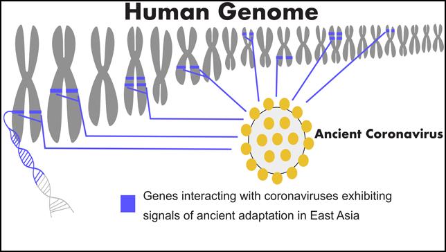 إشارات قوية على التكيف الجيني لفيروسات كورونا في شعوب شرق آسيا، وتوجد هذه الإشارات في جينات عدة تتفاعل مع فيروسات كورونا، ومنها فيروس سارس-كوف-2. المصدر: جامعة أديلايد.
