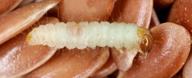 العث آكل جنسه يساعد العلماء على فهم كيفية تطور الأنانية - كيف ساعد العث الذي يتغذى على أبناء جنسه العلماء على فهم تطور السلوك الأناني