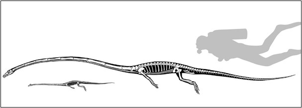 اكتشف العلماء أخيرًا كيف عاش هذا الزاحف بهذه الرقبة الطويلة - الزواحف الترياسية القديمة التي تسمى طويلات المفاصل العظميَة