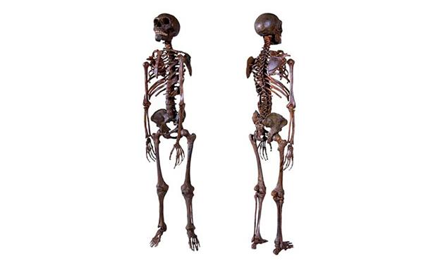 نموذج للهيكل العظمي الخاص بإنسان النياندرتال -صورة أمامية وخلفية. امتلك النياندرتال جسمًا ممتلئًا مع سيقان وأذرع قصيرة