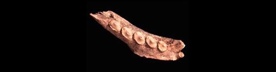 عُثر على جزء من فك فقمة في كهف فانجارد في جبل طارق. ووجد الباحثون أدلة، مثل العلامات الناتجة عن القطع بالأدوات الحادة، على أن إنسان النياندرتال تناول الحيوانات البحرية غذاءً
