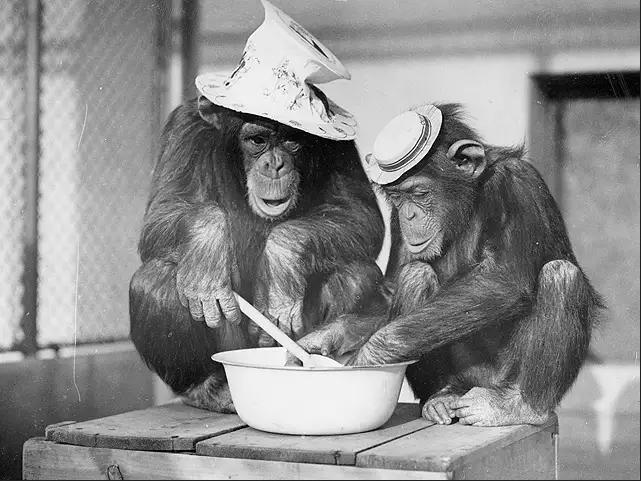 تمامًا مثل البشر، يركز الشمبانزي على بناء علاقات صداقة متينة مع التقدم في السن