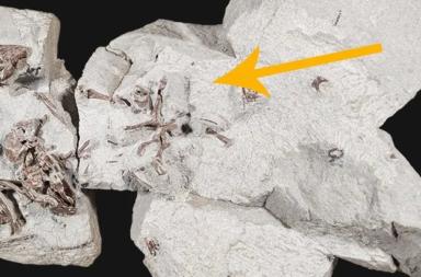 اكتشاف أول دليل على السلوك الاجتماعي لدى الثدييات - العصر الطباشيري المتأخر في زمن الديناصورات - شجرة الثدييات التطورية - المشيميات