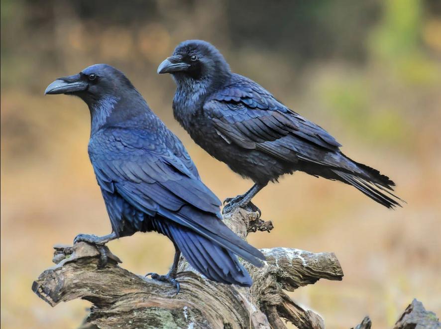 المهارات الاجتماعية و المعرفية للغربان - فالغربان تخطط وتصنع أدواتها مثل البشر - هل الغربان واعية وقادرة على إصدار الأحكام