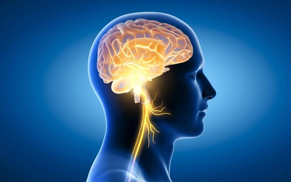 الأعصاب القحفية: العصب المبهم