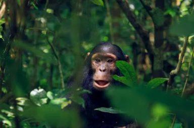 باحثون يرصدون للمرة الأولى قردًا يستخدم غرضًا صناعيًا كلعبة جنسية بغرض الاستمناء - قرد شمبانزي يستخدم غرضًا من صنع البشر أداةً للاستمناء