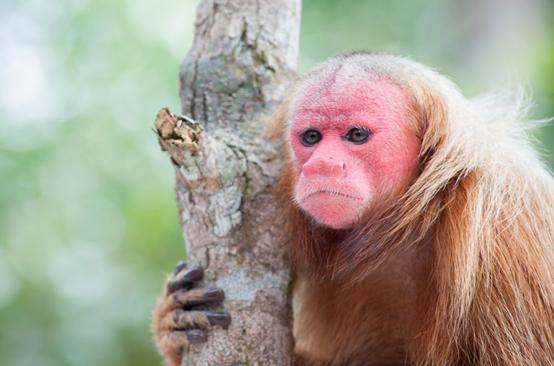 الكثير من الرئيسيات مهددة بالانقراض ، فماذا نحن صانعون ؟