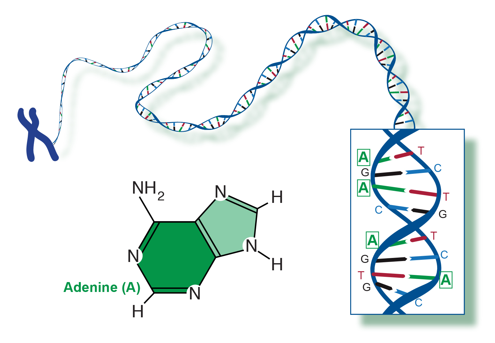 ما هو مركب الأدنين؟ - الأدنين واختلافه عن الغوانين - التفاعلات الحيوية الشائعة للأدنين - الوظائف الحيوية للأدنين - مركب عضوي ينتمي إلى عائلة البيورين