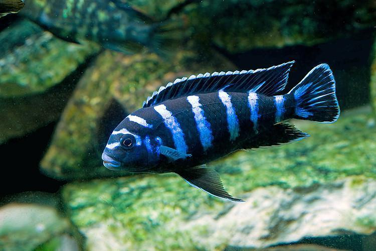 تستطيع هذه الأسماك تكوين أنواع جديدة كليًّا عندما تتزاوج