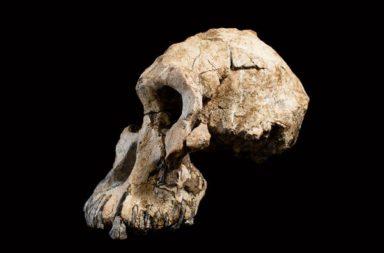 أورورين توجينينسيس: رجل الألفية - أحد أقدم أنواع البشر الأوائل الذين كانوا أسلافًا للبشر والملقب أيضًا برجل الألفية - تطور الإنسان