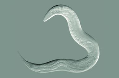 ديدان تتشارك ذكرياتها عبر تبادل الحمض النووي الريبوزي - تحذير يتسرب من جسد الدودة المتحلل ويصبح قابلًا للالتقاط من أي دودة أخرى مجاورة من نفس النوع