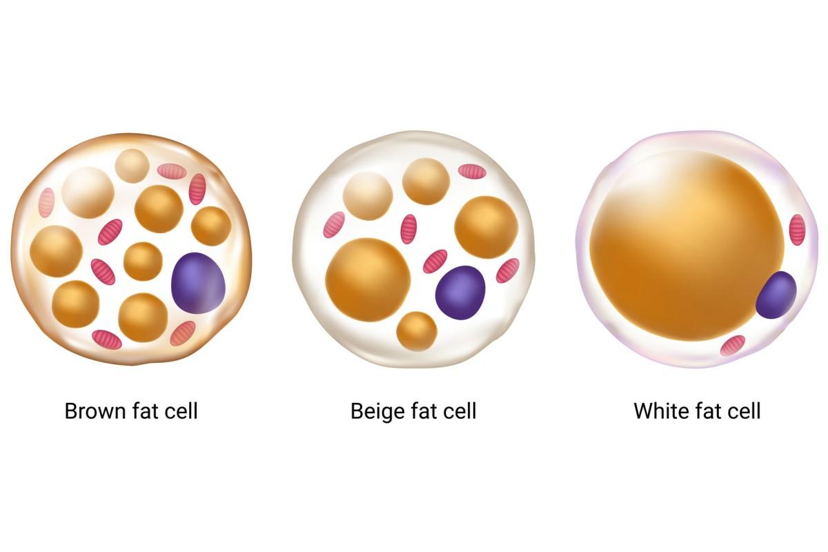 دراسة تربط الدهون البنية بنتائج صحية أفضل - وظائف الشحم البني أو النسيج الشحمي البني - الجسيمات المنتجة للطاقة والحرارة في الجسم